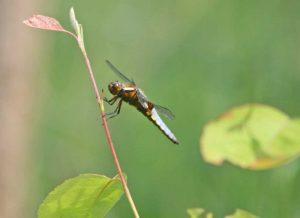 Plattbauch Libelle am Teich