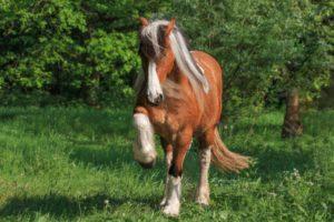 kaltblut pferd